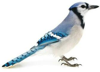 Pictures animals blue jay bird picture ipad iphone hd wallpaper