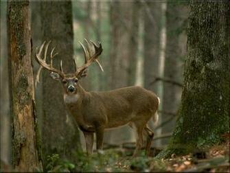 Deer Wallpaper Backgrounds