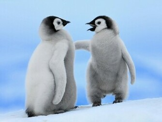 Cute Penguins Couple PhotosHD WallpapersImagesPictures