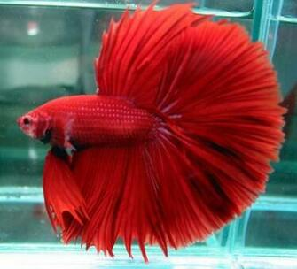 Fish Wallpapers Betta Fish Photos