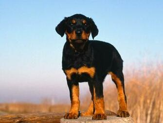 Hd Wallpapers Planet Rottweiler Puppy