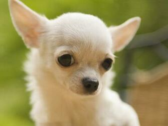 Download Dogs S Dog Chihuahua Background Desktop Pics Wallpaper
