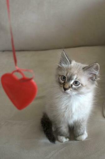 Valentine Cat Cute Funny