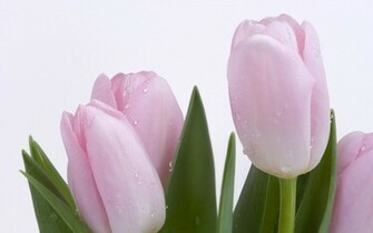Light Pink Tulips desktop wallpaper