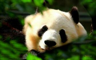 Beautiful Wallpapers panda bear wallpaper