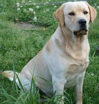 Description Labrador retrieverjpg