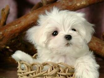 Cute Puppy   Puppies Wallpaper 15813268