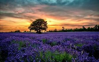 Flowers sunset field lavender scenery wallpaper 2560x1600 356134