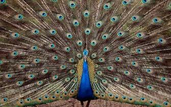 India India   Birds   Peacock