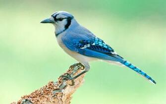 Blue Jay Bird HD Wallpaper   iHD Wallpapers