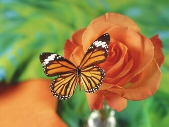 Monarch Butterfly Wallpaper 9616 Hd Wallpapers in Animals   Imagesci
