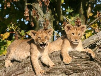 lion cubs cute baby lion cubs cute baby lion cubs lion cubs baby lion