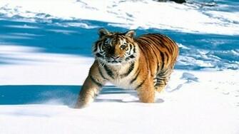 dier wallpapers planeet sneeuw tijger papier hal afbeeldingen
