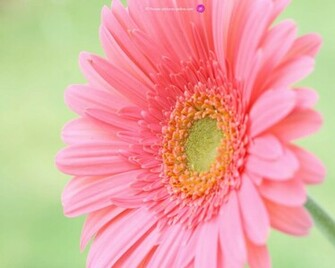 pink flower wallpaper flower wallpapers flower wallpaper pink flower