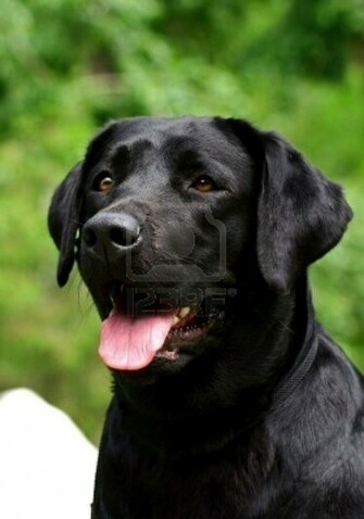 Black Lab Puppy Wallpaper Images Pictures   Becuo
