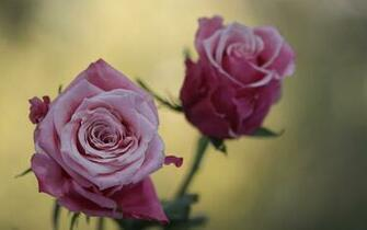 Cute Pink Roses Flowers Wallpapers   1680x1050   383899