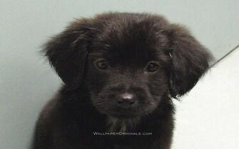 Black Lab   Dogs Wallpaper 13984457