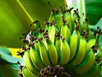 Banana Tree Desktop Wallpaper 4