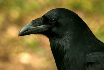 Raven Bird Wallpaper Raven   mystic bird by