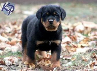 Rottweiler Puppies For Sale 4 Desktop Background   DogBreedsWallpapers