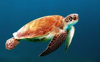 Sea Turtle HD Wallpaper   HD Wallpapers   9to5Wallpapers
