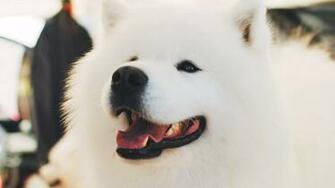 Download wallpaper 1366x768 samoyed dog white fluffy cute