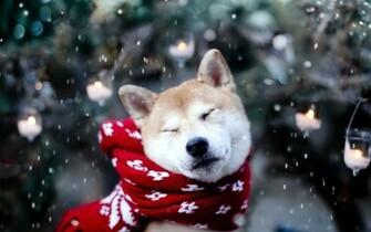 cute dog winter snowflakes animal photos mood wallpaper