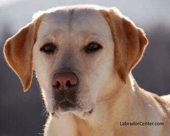 Labrador Center   Labrador Retriever Desktop and Background Images