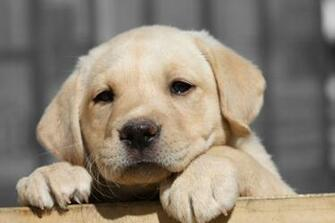 Labrador Retriever Puppy HD Wallpaper Animals Wallpapers