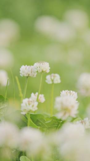 iPhone 5 wallpapers HD   White clover Backgrounds