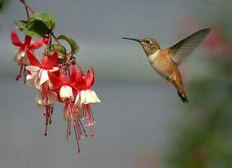 wallpaper wallpaper Humming bird