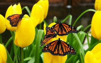 Monarch butterflies wallpaper   Animal wallpapers   9742