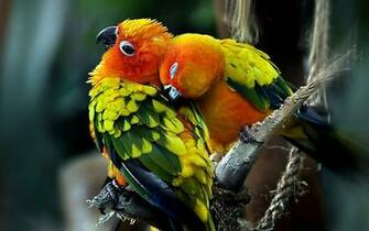 love birds wallpapers love birds desktop wallpapers love birds desktop
