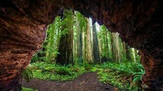 Redwood trees at Jedediah Smith Redwoods State Park California