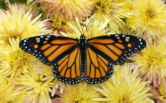 Monarch Butterfly 5 Wallpaper Wallpaper