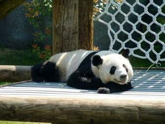 PicturesPool Beautiful Panda Bears Red PandaPolarBears