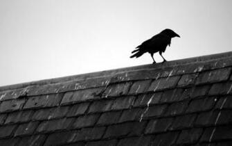 and white birds animals rooftops black bird raven wallpaper background