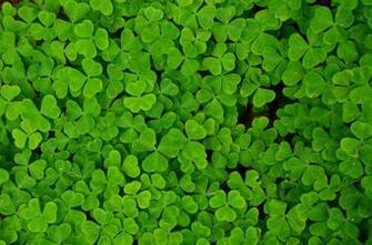 shamrock clover trefoil Plants Wallpapers Desktop Wallpapers
