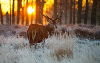 Red Deer Wildlife HD Wallpaper   New HD Wallpapers