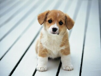 Cute Puppy Wallpapers wallpaper Cute Puppy Wallpapers hd wallpaper