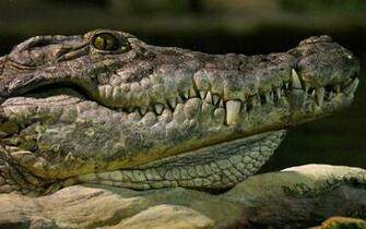 wallpaper with the portrait picture of a crocodile HD crocodile