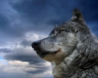 Exclusive Gray Wolf HD Wallpaper for Desktop Backgrounds