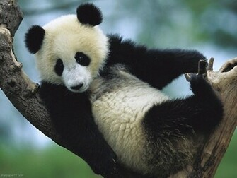 Panda on Tree 1152x864 pixels Wallpapers tagged Bear
