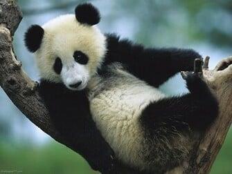 Panda on Tree 1152x864 pixels Wallpapers tagged Bear