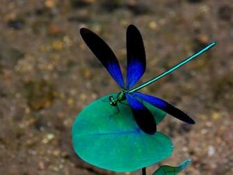 dragonfly screensavers 1024768 HD Wallpaper Dekstop Background