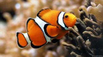 clown fish pesce pagliaccio sfondo desktop hd wallpaper 1920x1080