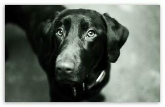 Black Lab HD wallpaper for Standard 43 54 Fullscreen UXGA XGA SVGA