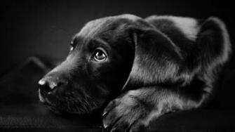Black Labrador Puppy HD Wallpaper   WallpaperFX