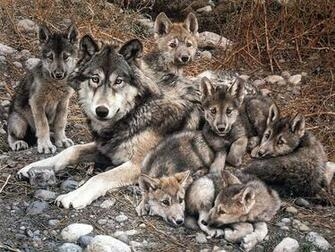 Wolf with Cubs   Animal Cubs Wallpaper 29105428