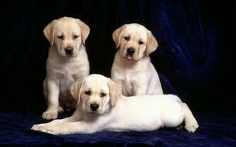 Pin Yellow Labrador Puppy Wallpapers Hd